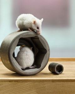 Mäuse in Stecknüssen