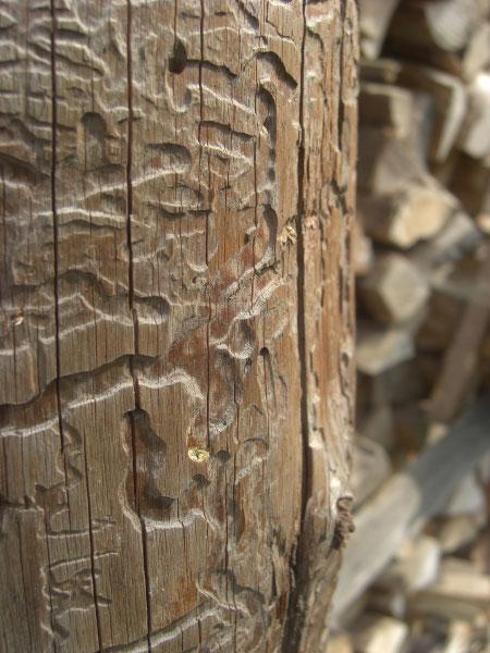 Super Holzwurm bekämpfen - So wird man ihn los! | BefestigungsFuchs CP75