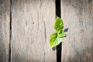 Unkraut wächst durch Holzdielen